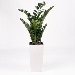 Silkki palmuvehka pilariruukussa | kasvi-istutus | viherviisikkokauppa.fi