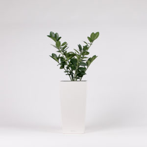 Palmuvehka pilariruukussa | silkkikasvi-istutus | viherviisikkokauppa.fi