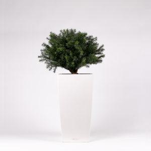 silkki marjakuusipallo pilariruukussa | kasvi-istutus | viherviisikkokauppa.fi