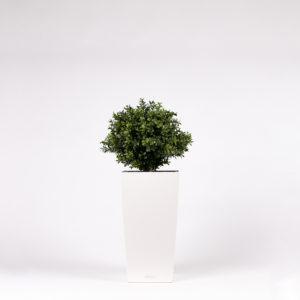 silkki pieni puksipuu pilariruukussa | kasvi-istutus | viherviisikkokauppa.fi