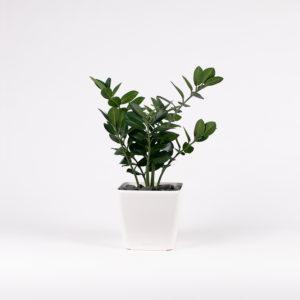 silkki palmuvehka neliöruukussa | kasvi-istutus | viherviisikkokauppa.fi