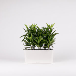 silkki crotonit | ovaali ruukku | silkkikasvi-istutus | viherviisikkokauppa.fi