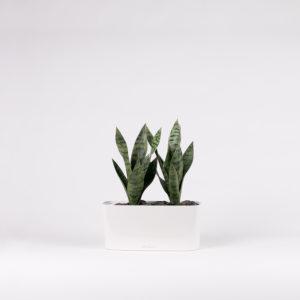 silkki anopinkielet ovaalissa ruukussa | kasvi-istutus | viherviisikkokauppa.fi