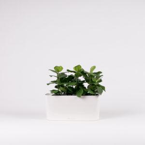 silkki clusiat ovaalissa ruukussa | kasvi-istutus | viherviisikkokauppa.fi