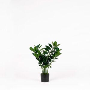 Silkkikasvi - Palmuvehka | Zamifolia | viherviisikkokauppa.fi