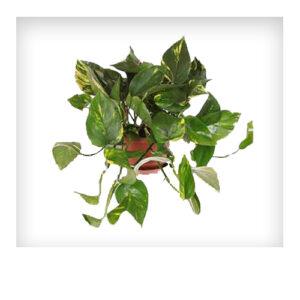 Aidot viherkasvit