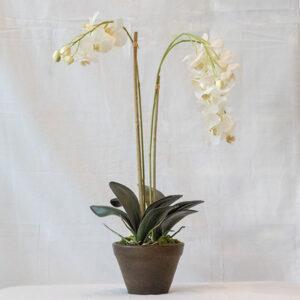 Silkki valkoinen orkidea | phalanopsis | viherviisikkokauppa.fi