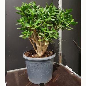 rahapuu | huonekasvi | viherkasvi | viherviisikkokauppa.fi